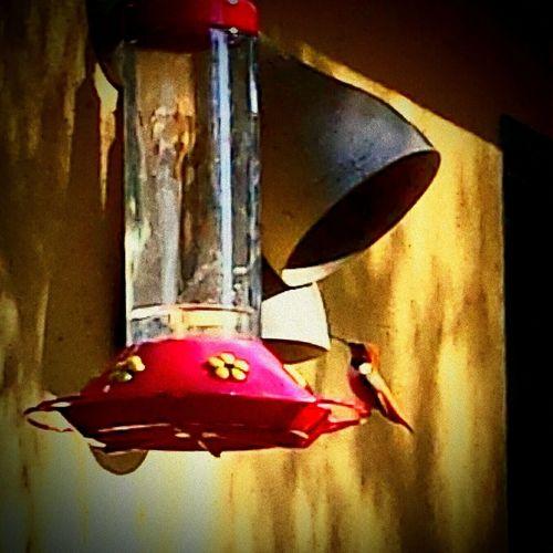 Hummingbird Feeder Rancho Palos Verdes Eye Em Nature Lover Rufus Hummingbird Beautifulshots