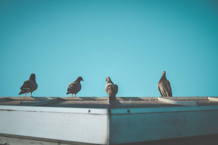 Pigeons line up on the roof. Architecture Roof Nature Sky Animal Bird Blue Day Outdoors Seagull Clear Sky Pigeon No People Perching Animals In The Wild Copy Space Group Of Animals Low Angle View Animal Themes Animal Wildlife Vertebrate Medium Group Of Animals Hatamoto Shinichi