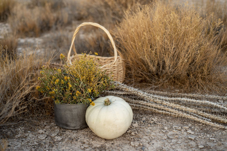 White pumpkin, wildflowers, dried cactus, basket in mojave desert autumn