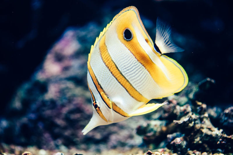 Close-up of butterflyfish swimming in tank at aquarium