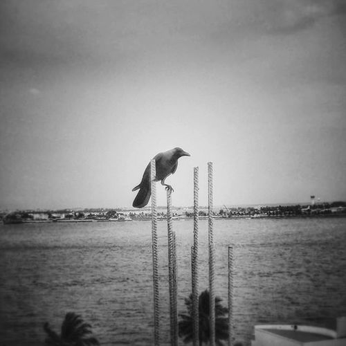 Crow InstagramMV Malecity Maldives