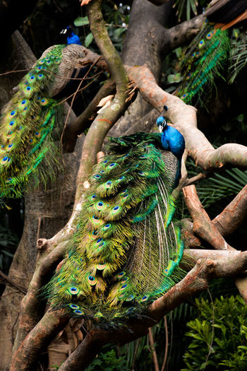 View of peacocks perching on branch of tree