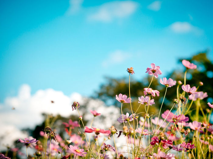 Beautiful cosmos flowers in garden for background. Selective and soft focus blurry. Vintage and pastel tone. Air Flowers Fresh Garden Multicolors  Nature Pastel Petal Pink Sky Soft Summer Thailand Vintage Violet