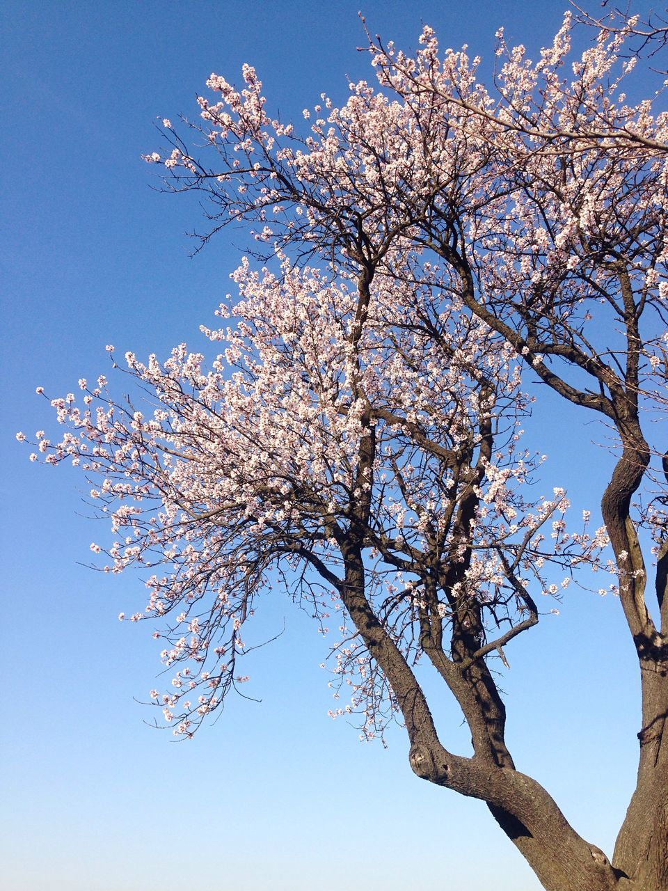 tree, beauty in nature, branch, flower, blossom, nature, low angle view, growth, clear sky, springtime, no people, day, tranquility, blue, fragility, outdoors, freshness, scenics, sky