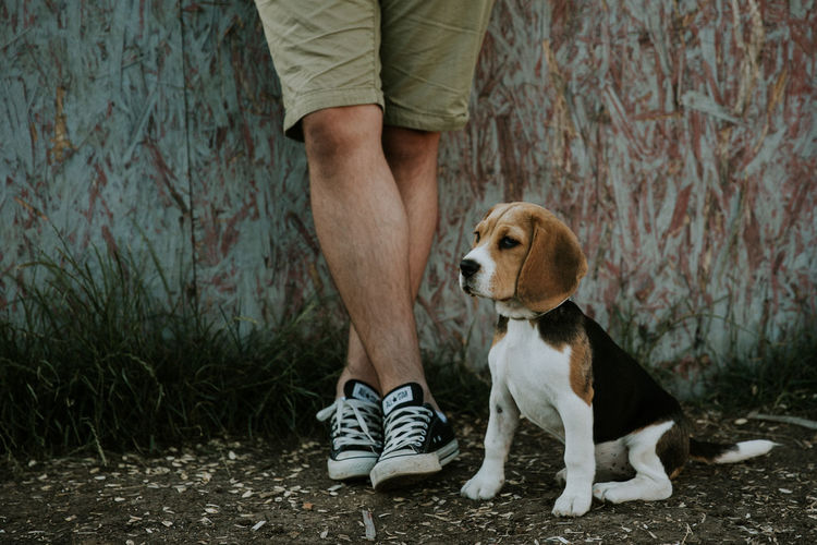 Adult Beagle Dog Domestic Animals Men One Animal One Person People Pets Puppy