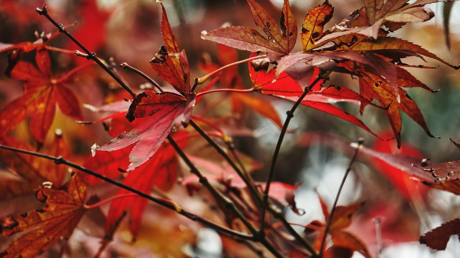 Autumn Leaf Change Red Nature Dry Beauty In Nature No People Day Plant Outdoors Maple Leaf Close-up Tree Branch Fragility