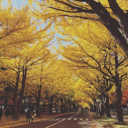Line of gingko tree in Hokkaio University.北海道大学 銀杏並木 Gingko Tree Autumn Leaf Tree Fall Sapporo,Hokkaido,Japan EyeEm Nature Lover EyeEm Best Shots - Nature