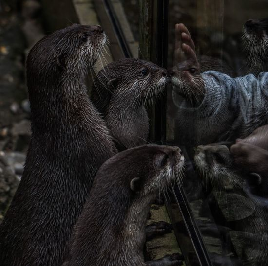 Cropped image of person touching glass by otters at zoo