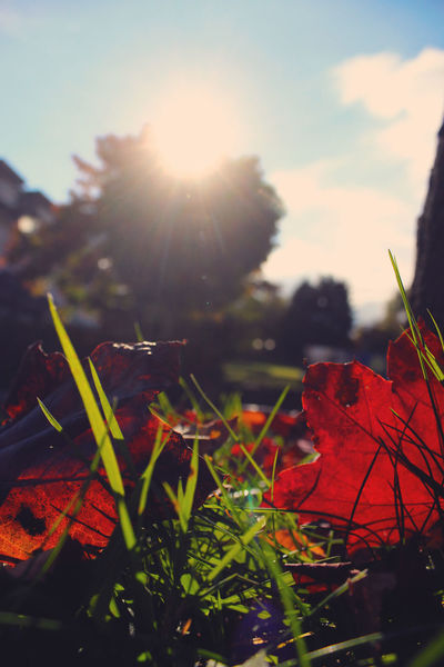 Red Leaves Trees Beauty In Nature Blue Sky Change Close-up Clouds Day Fragility Freshness Grass Growth Leaf Lens Flare Maple Leaf Nature No People Outdoors Plant Red Sky Sun Sunlight Sunrise Tree