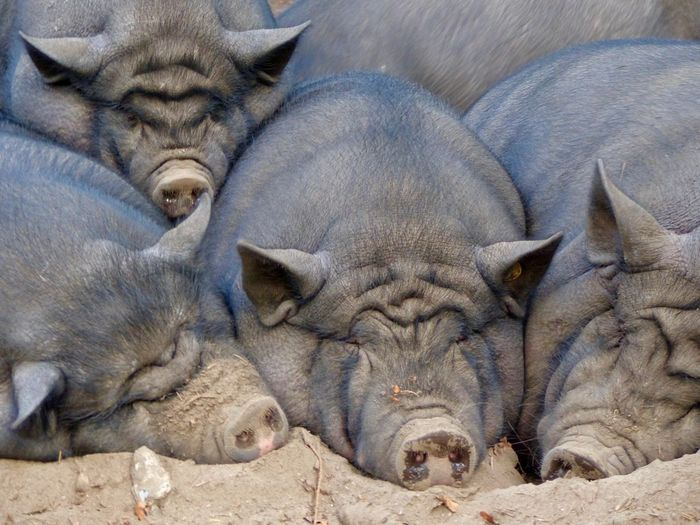 Relaxing on the weekend Animal Themes Relaxing Sleeping Domestic Animals Pig Resting Close-up Lying Down Group Of Animals Group Wrinkled Nose This Is Natural Beauty