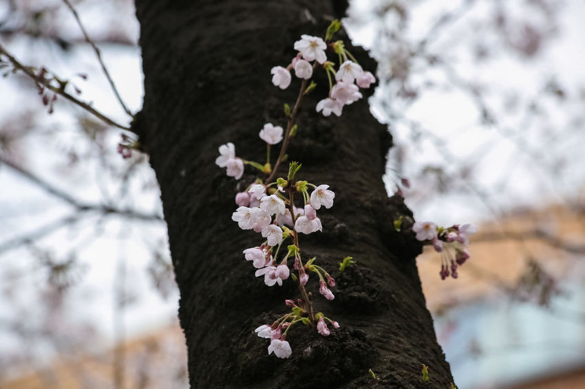 Cherry Blossom Beautiful Flower Beautiful Flower, Natural Color, Beautiful In Nature Beautiful Nature Blossom Cherry Blossom Tree Cherry Blossoms Flower Growth Nature Naturelovers No People Pink Flower Spring Flowers Springtime Tree