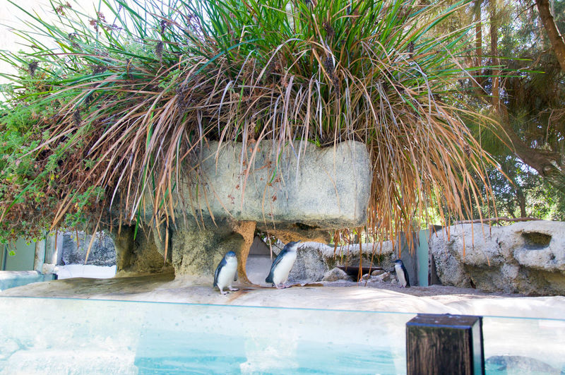 Little blue penguins at the Perth Zoo in Perth, Western Australia. Animal Avian Bird Conservation Enclosure Fairy Grasses Habitat Little Blue Penguin Manmade Marine Life Outdoors Penguin Perth Zoo Plant Sea Life Small Tank Tropical Water Western Australia White Wildlife Zoo Zoo Animals