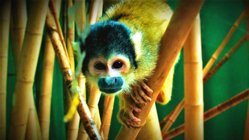 Monkey Animal Photography Beautiful Animals  Beautiful Animal Monkey Business Monkey Face Cute Animals Adorable Eye Contact Animal Portrait Eyecontact Nature's Diversities Nature's Diversities - 2016 EyeEm Awards