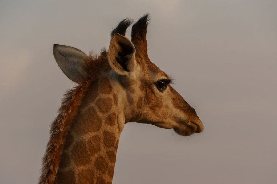 Young giraffe female watching the sunset in Hluhluwe-iMfolozi Nationalpark, South Africa EyeEm Nature Lover South Africa Travel Animal Themes Animal Wildlife Animals In The Wild Close-up Day Eye4photography  Giraffe Mammal Nature No People One Animal Outdoors Portrait Safari Animals Sky Sony A6000 Sunset Travel Destinations Lost In The Landscape