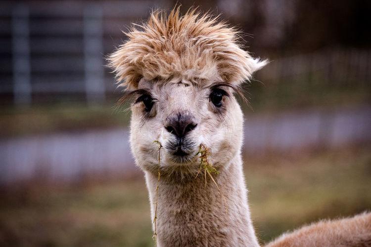 Portrait Llama