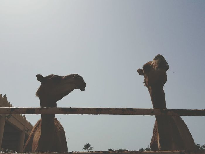 Camels Against Clear Sky