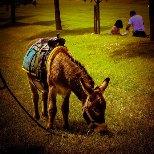 Day Donkey Donkey In English Countryside Donkey In Field Donkey Tied U England English Field Golden Colours Grass Grassy Mammal Nature Outdoors S Warm Summer Exploratorium