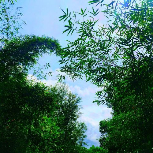 Cabangan, Zambales Tree Low Angle View Growth Sky Green Color Leaf Scenics Branch Tranquility Beauty In Nature Nature Tranquil Scene Cloud - Sky Cloud Day High Section Lush Foliage Outdoors Treetop Leaves