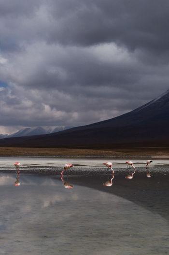 Flamingos at lakeshore against cloudy sky