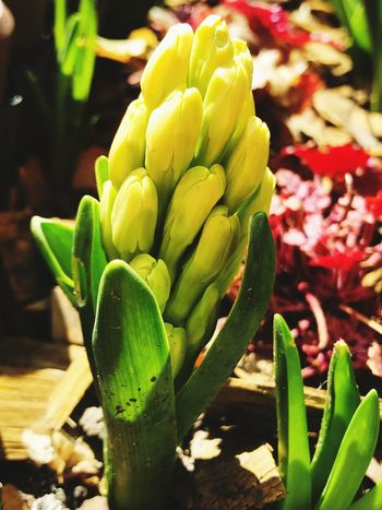 EyeEmNewHere Growth Plant Beauty In Nature Green Color Close-up Flower Succulent Plant Freshness Nature Flowering Plant Day Sunlight Vulnerability  No People Inflorescence Focus On Foreground Cactus Fragility Flower Head Botany
