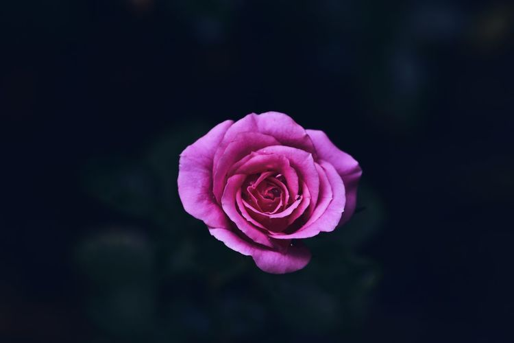 Close-Up Of Pink Rose Against Black Background