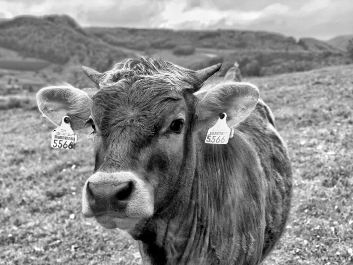 Swiss cow 1 Black And White Swiss Cow Cow Animal Themes Animal Mammal Day Animal Wildlife Focus On Foreground One Animal Cattle Livestock Nature Portrait
