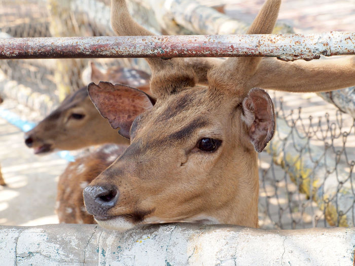 Close-up of deer in zoo