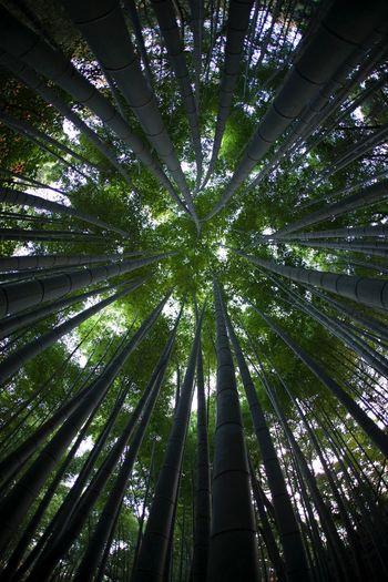 Bamboo to the Sky Okayama,Japan Bamboo Bamboo Forest Songenji 岡山 日本 Sōgen-ji 崇元寺