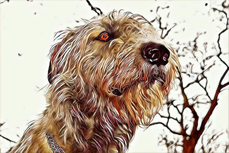 One Animal Animal Themes Close-up Outdoors Vinci App From My Point Of View Winter 2017 February 2017 Showcase February 2017 Sky Nature Animals In The Wild Dogs Of Winter Irish Wolfhound Dogslife Cearnaigh Dogs Of EyeEm Dog Portrait Take A Walk Eyes Are Soul Reflection Looking At Camera Domestic Animals Animal Head  Winter