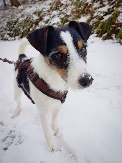 🐶 Dogs Parson Russell Terrier Terrier Parsonsjackrussell Snow Pets Cold Temperature Winter Animal Themes No People Nature Outdoors One Animal Dog Forrest Sweet Cute Pet EyeEmNewHere first eyeem photo Dogs Of EyeEm Eye EyeEm Best Shots EyeEm Gallery EyeEmBestPics Be. Ready.