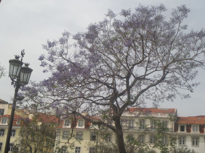 #beautiful Lisbon #Greetings From Lisbon #I Love Lisbon #jacaranda Tree In Lisbon #lisbon #Lisbon View #lovely Lisbon #old Lisbon #postcard From Lisbon #romantic Lisbon Architecture Branch Building Exterior Built Structure City Day House Jacaranda Tree Nature No People Outdoors Residential  Sky Town Tree