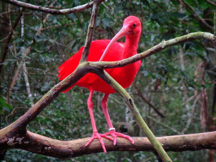 Red Bird Big