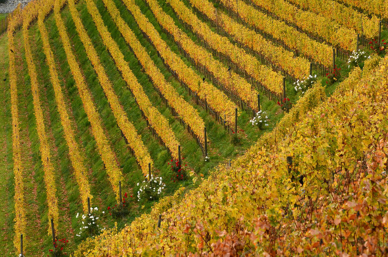 Beautiful yellow vineyards at Novacella Monastery, south tyrol, Bressanone, Italy. Abbey Alto Adige Bressanone - Brixen Monastery Novacella Trentino Alto Adige Varna Agriculture Flowers Landscape Row Rows Scenics - Nature South Tyrol Tranquility Vineyard Vineyards In Autumn Vineyard🍇 Yellow Vineyard