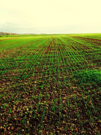 Landscape Field Beauty In Nature Green Color Freshness No People Road Of Wheat Wheat Small Wheat пшеница молодая