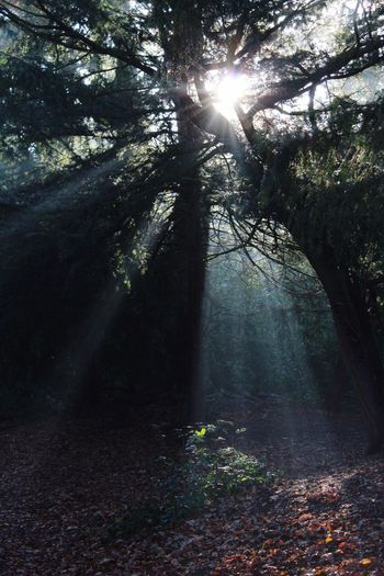 Sunbeams Morning Sun Trees Sun Through The Trees Woods Winter
