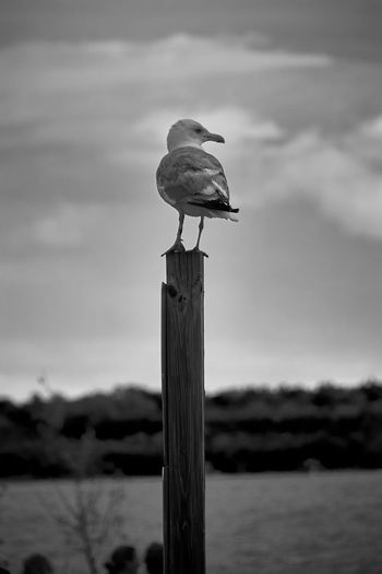 Animal Themes Animals In The Wild Balance Bird Birdwatching Blackandwhite Naturelovers No People One Animal Outdoors Perching Seagull Shore Water Wildlife