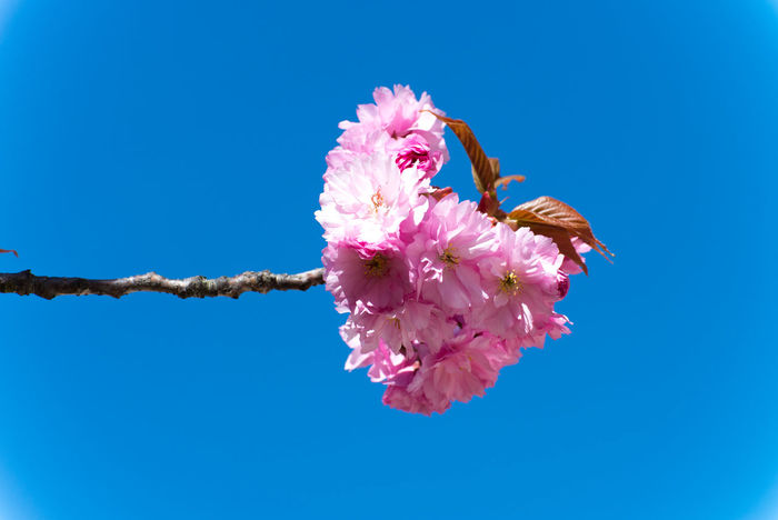 pink&blue Beauty In Nature Branch Cherry Blossoms Cherry Tree Cherryblossoms Flower Flower Head Fragility Freshness Nature No People Petal Pink Blue Sky Pink Color Pink Flower Pink Flower 🌸 Pink Flowers