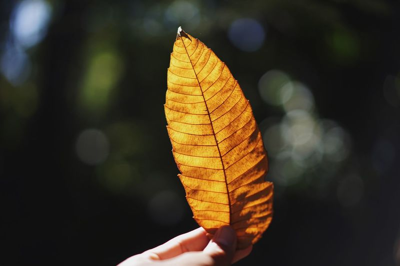 Close-up of hand holding autumn leaf