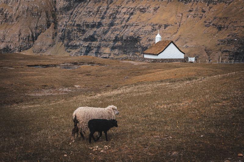 Sheep walking on grassy land