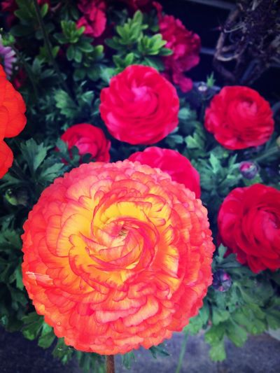 Flower Collection Ranunculus MyFavorite