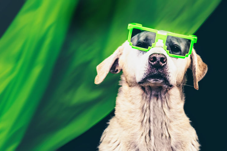 Funny picture with a Labrador retriever wearing green sunglasses Fun Funny Faces My Best Photo Funny Dogs  Funny Dog Portrait portrait of a friend Green Green Color One Animal Canine Dog Animal Themes Domestic Animal Domestic Animals Pets Mammal Vertebrate Glasses Sunglasses No People Animal Body Part Fashion Close-up Animal Head  Focus On Foreground Mouth Open Purebred Dog