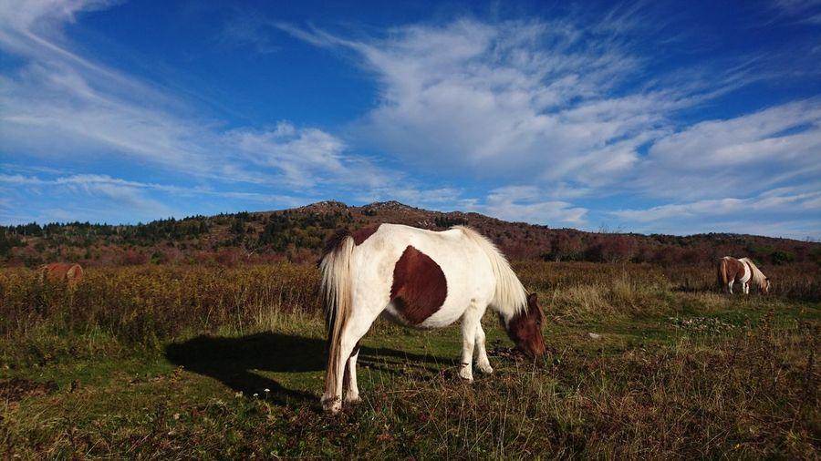 Appalachian Trail Highlands Grayson Highlands National Park Rural Scene Sky Landscape Livestock Grass Cloud - Sky Horse Pony