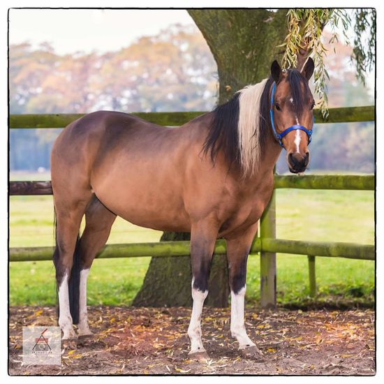 Horse Animal Themes Domestic Animals American Paint Horse Beauty In Nature No People Painthorse Reining Horse Horselove Horse Photography  Horsepassion