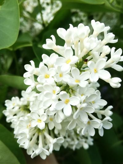 Lilac Lila White Lilac White Lila White Green Plant Nature Flower White Color Green Color Petal Fragility Freshness Beauty In Nature Blossom Day Springtime No People Outdoors Growth Leaf