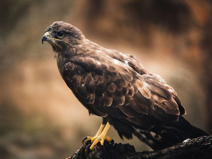 Animals In The Wild Bird Photography EyeEm Selects Livestock Nature Animal Animal Themes Animal Wildlife Animals Animals In The Wild Bird Bird Of Prey Close-up Day Focus On Foreground Nature No People One Animal Outdoor Photography Outdoors Perching Portrait Predator Vulture Wallpaper