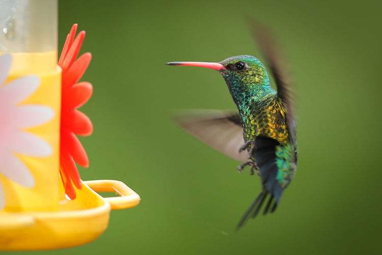 Animal Themes Animal Bird Vertebrate Hummingbird Animal Wildlife One Animal Animals In The Wild Close-up Flower Flowering Plant Focus On Foreground No People Beauty In Nature Plant Green Color Nature Flying Selective Focus Beak