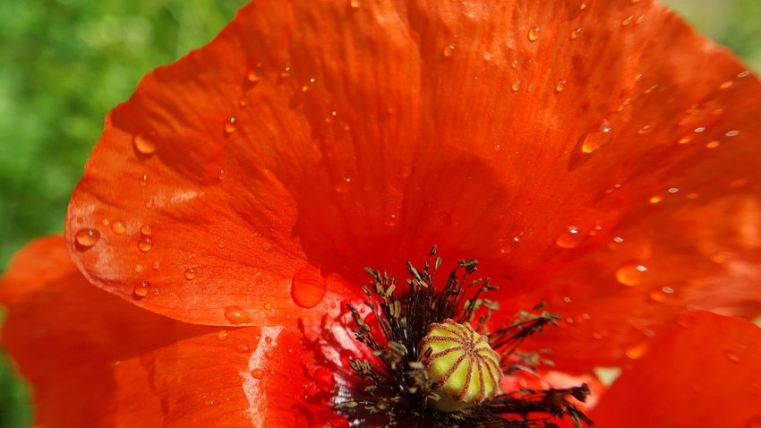 Coquelicot Water Drops Water Drops Rain Flower Head Flower Red Close-up Plant Stamen Pollen Petal Botany Passion Flower Poppy Pistil Blossom Plant Life Single Flower