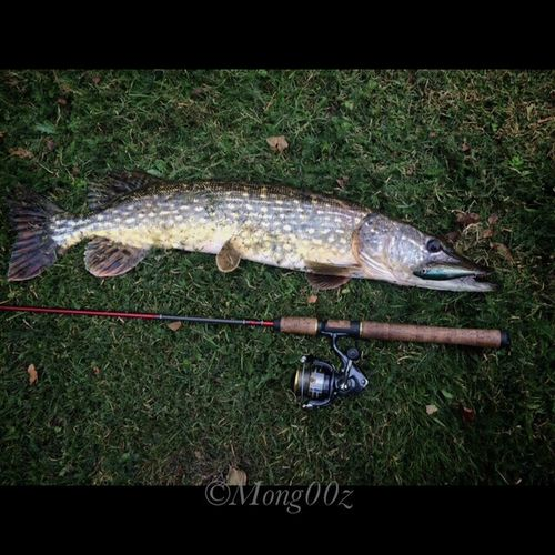 Northern Pike 82cm Pike Holland Fishing Fish Nature