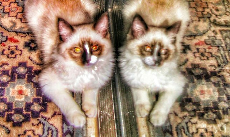 Mirroring of the cat on the left. Sliding glass door Enjoying Life Special Effects San Diego Ca Ocean Beach Cat Lovers Cats Of EyeEm