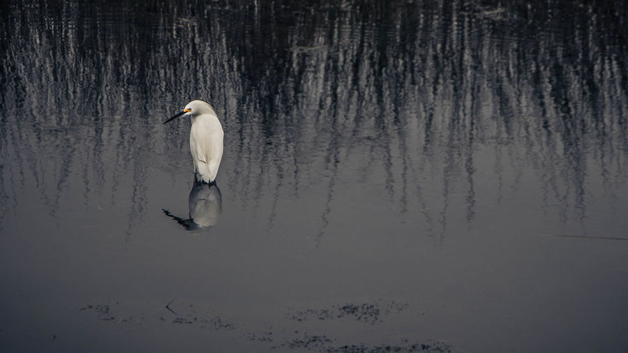 Reflection Of Plants And Snowy Egret In Lake